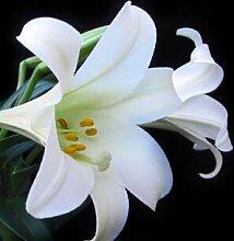 4: 50 Teile/paket Pflanzen Topf Lilie Blumensamen