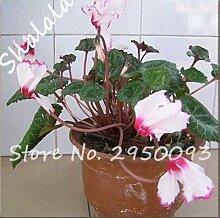 4 : Bonsai Cyclamen Flower Seeds Perennial