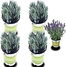 4 Lavendel-Pflanzen: Lavendel-Pflanze im Topf |