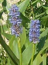 4 Pflanzen Hechtkraut Pontederia Cordata
