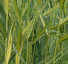 4 Pflanzen Wasserschwaden Teichpflanze
