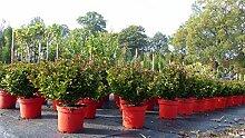 4 Stück: Ilex meserveae Kugel Hecke Heckenpflanze