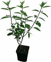 4 x Rispenhortensien Pflanzen SET Hortensien