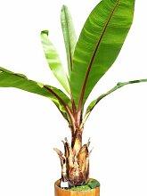 40 Samen Schnee-Banane -ensete glaucum-