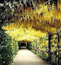 40 Stück 4 Farben der Wisteria-Blumensamen, Lila