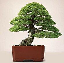 40 Stück Weiße Kiefernsamen Bonsai Pinus Pflanze
