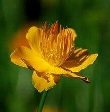 40+ TROLLIUS GOLDEN QUEEN GLOBE FLOWER PERENNIAL