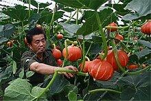 40pcs / bag Exotische Kürbiskerne Japanische Köstliches Cucurbita Golddraht Kürbis Bonsai Topfgemüsepflanze freies Verschiffen 7