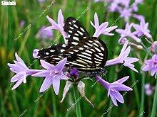 40pcs / bag Imported Tulbaghia Violacea Samen Essbare Knoblauch Bonsai Topf Gemüse Blume Zierpflanze für Gartendeko