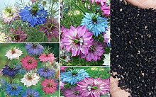 40x Jungfern im Grünen Mix frische Original bunt Garten Samen Pflanze Blumen frisch Blumensamen #359