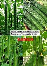 40x Riesen Gurken Frische Samen Saatgut Hingucker Pflanze Rarität Selten essbar gesund Gemüse Neuheit #41