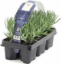 48 Pflanzen Lavandula angustifolia Staude Lavendel