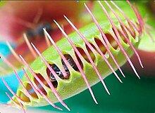 48h Lieferung! Venusfliegenfalle ~50+ Samen fleischfressende Pflanze Dionaea muscipula - NEU!