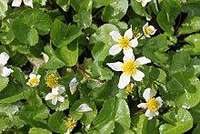 4er-Set im Gratis-Pflanzkorb - Caltha palustris