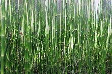 4er-Set im Gratis-Pflanzkorb - Equisetum japonicum