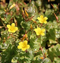 4er-Set im Gratis-Pflanzkorb - Hypericum elodes - Sumpf-Johanniskraut - Sumpf-Hartheu, gelb - Wasserpflanzen Wolff