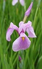 4er-Set im Gratis-Pflanzkorb - Iris laevigata