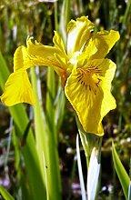 4er-Set im Gratis-Pflanzkorb - Iris pseudacorus
