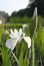 4er-Set im Gratis-Pflanzkorb - Iris Sibirica-Hybr,