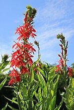 4er-Set im Gratis-Pflanzkorb - Lobelia cardinalis