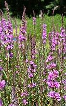 4er-Set im Gratis-Pflanzkorb - Lythrum salicaria -