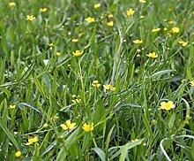 4er-Set im Gratis-Pflanzkorb - Ranunculus flammula - Brennender Hahnenfuß, gelb - Wasserpflanzen Wolff