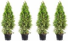 4er-Set Lebensbaum 'Smaragd' - Thuja