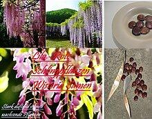 4x Schlingpflanzen Wisteria Lila-Rot Samen Blumensamen Original Saatgut Hingucker Garten Blume Pflanze Rarität Neuheit #55