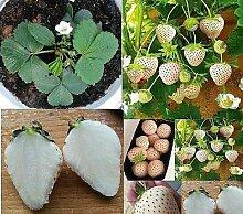 4x Weiße Erdbeeren Ananas Geschmack Pflanzen