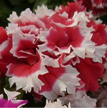 5: 100 Stücke Garten Petunia Blütenblätter