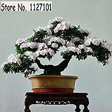 5: 100 Teile/beutel 22 arten Azalee Blumensamen
