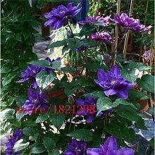 5: Clematis/Kleine Grüne Kletterpflanze Clematis