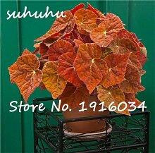 5: Heißer Verkauf 100 Stücke Begonie Samen