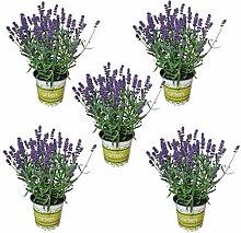 5 Lavendel-Pflanzen im Set (12 cm Ø-Topf):