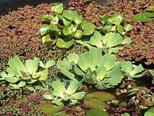 5 lose Uferpflanzen, 2 große Schwimmpflanzen Teich