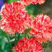 5: Nelkensamen, Dianthus Caryophyllus, 100%