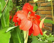 5 RED CANNA LILY Indian Shot Canna Indica Flower