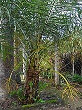 5 Samen von Phoenix Acaulis Zwerg Dattelpalme