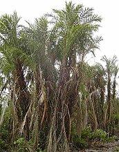 5 Samen von Phoenix paludosa Mangrove Dattelpalme