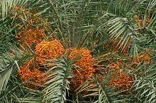 5 Samen von Phoenix sylvestris SILVER Dattelpalme