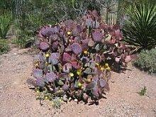 5 Samen von Purple Feigenkaktus RLP087 (Opuntia