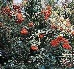 5 Samen von Pyracantha coccinea Feuerdorn SHRUB