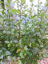5 St. Ovalblättriger Liguster (Ligustrum