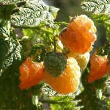 5 Stck. Himbeere 'Fallgold' - (Rubus id. 'Fallgold')- Containerware 40-60 cm
