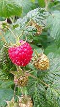 5 Stck. Himbeere 'ZEFA 3 Herbsternte' - (Rubus id. 'ZEFA 3 Herbsternte')- Containerware 40-60 cm
