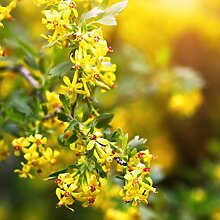 5 Stück Ribes aureum - (Gold-Johannisbeere)-