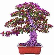 5 Stück Weit verbreitet Bodhi Baum Religiosa