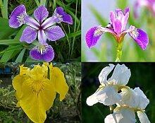 5 Töpfe Sumpfschwertlilien Sortiment - Iris Teichpflanzen Teichpflanze Teich