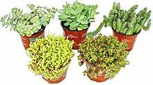 5 verschiedene Winterharte Sedum-Pflanzen -