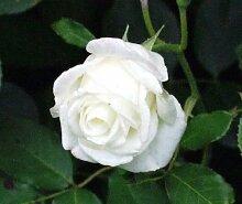5Weiß Rose Rosa Bush Strauch Mehrjährige Pflanze Blume Samen * Kamm S/H